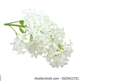 branch of white lilac isolated on white with copy space