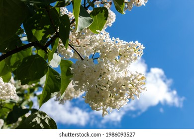 A branch of white lilacs on a tree in a park against a background of blue sky. White lilac blooms beautifully in spring. Close-up. Spring concept.