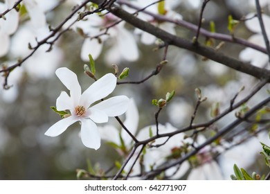 Branch of a white magnolia on a blurred background