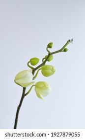 Branch of white orchid on the white background - macro copy space