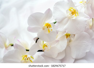 The branch of  white orchids on white fabric background