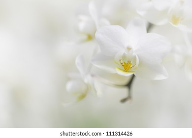 Branch of white orchids, yet colorful with yellow culprit, in a dreamy composition with lots of copy space