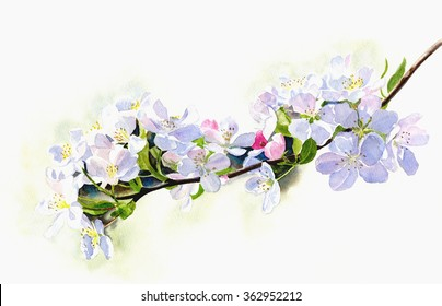 Branch of White shadowed Apple Blossoms.  Watercolor painting, illustration style, of white pink apple blossoms on a branch with a white background.