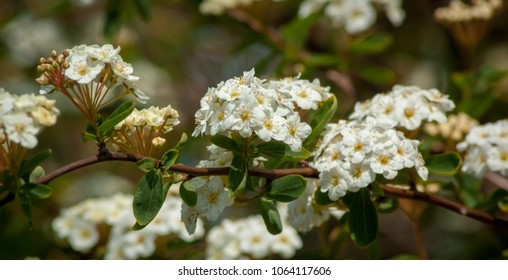 A branch of white Spiraea flowers