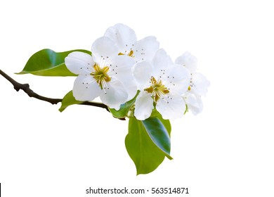 Branch of white spring blossom in soft focus. Shallow DOF. Isolated on white. Path included.