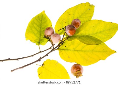 The branch of wild American persimmon (Diospyros virginiana) with ripe fruit on a white background