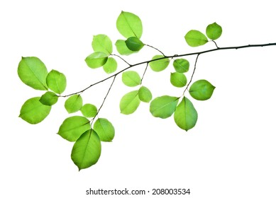 Branch of wild cherry tree with green leaves isolated on white