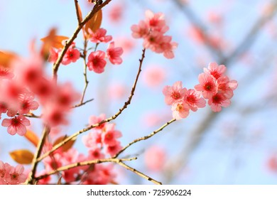 Branch of the Wild Himalayan Cherry flower in Northern of Thailand
