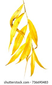 Branch of a willow with yellow leaves on a white background
