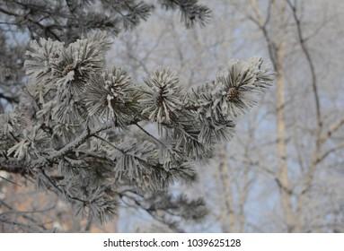 Branch of winter fir trees under frost.