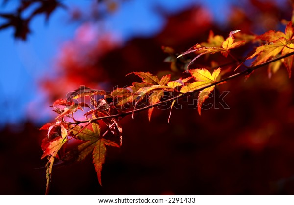 Branch of Yellow Autumn Leaves with Colorful Background. Shallow DOF