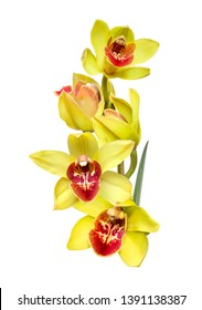 a branch of yellow cymbidium orchid flowers