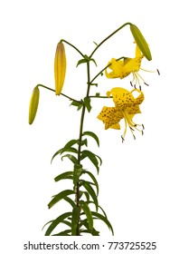 """Branch of  yellow lilies """"Citronella"""" Asian hybrids with buds and a blossoming flower  on a white background isolated"""