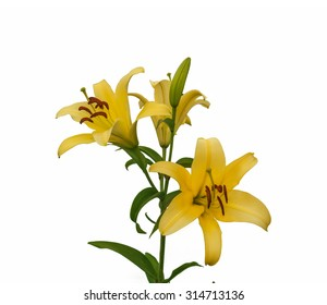 The branch of yellow lilies Oriental Hybrids with buds on a white background isolated