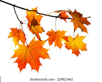Maple Tree Branch Images Stock Photos Amp Vectors
