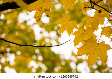 A branch of yellow orange maple leaves during Autumn