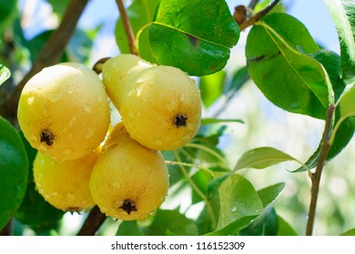 Branch of yellow pears