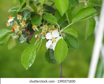 A branch of a young flowering apple tree, white apple blossom in spring or summer