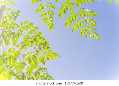 Branch with young leaves of Moringa tree under clear blue sky. Native to tropical, subtropical regions of Asia. Common names include drumstick tree, Malunggay, horseradish, ben oil, benzolive tree