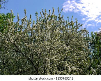 branched tree densely flaccid with white flowers on the background of blue sky