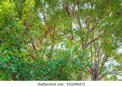 Branches of the 100 years old Pipal tree