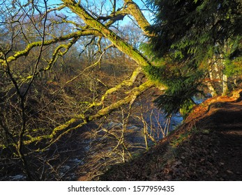 Branches above the waterfall.  Alyth, Blairgowrie, Scotland - February 15, 2019 Bent tree branches lit by sunlight hang over Reekie Linn Waterfall in Scotland.