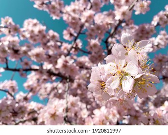 Branches of almond blossoms with a blue sky background on a sunny day