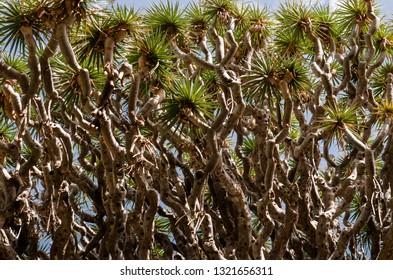 Branches of an ancient Dragon Tree in Icod de los vinos, Tenerife