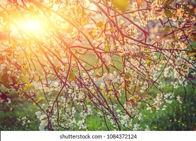 branches of apple tree with blossoming flovers at sunset