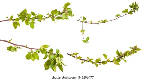 branches of apple trees with young leaves. isolated on white background - Shutterstock ID 548296477