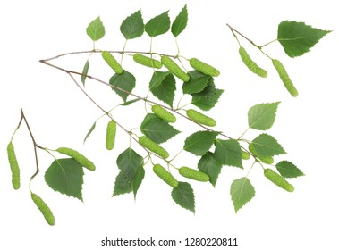 Branches of a birch tree isolated on white.