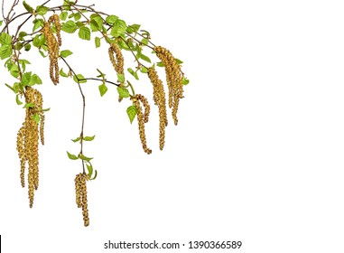 Branches of birch tree with young spring leaves and earrings close up, isolated on white background - time of flowering and seeds formation. Pollen of blossoming plants - cause of seasonal allergy