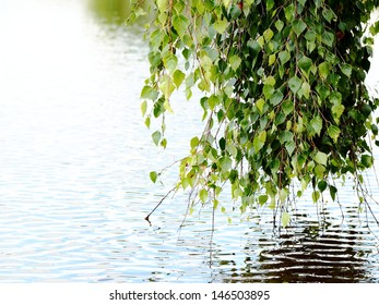branches of birch trees near the water