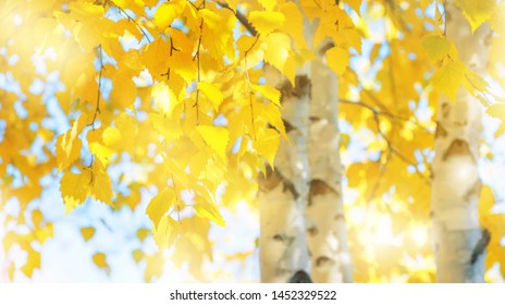 Branches of  birch with yellow leaves in autumn park. Autumn background with yellow foliage of birch tree.
