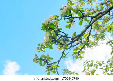 branches of a blooming Apple tree against the blue sky with clouds, large tender white buds as a symbol of spring