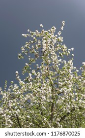 Branches of blooming apple tree under dark cloudy sky.