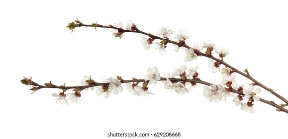 Branches of blooming fruit tree on white background