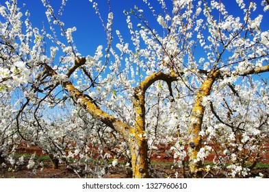 Branches of Blossom orchard, south of Portugal