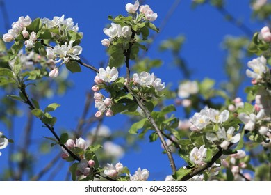 Branches of blossoming apple trees against the blue sky.