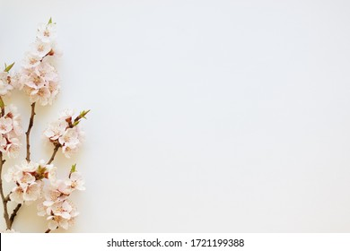 Branches of a blossoming apricot on a white background. Pink flower petals. Delicate spring bouquet