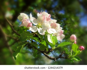 Branches of the blossoming cherry, apple-trees. Spring.