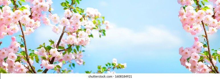 Branches blossoming cherry on background blue sky and white clouds in spring on nature outdoors. Pink sakura flowers, amazing colorful dreamy romantic artistic image spring nature, banner format.