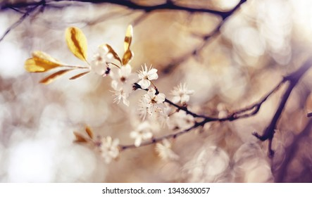 Branches of the blossoming cherry in the spring.