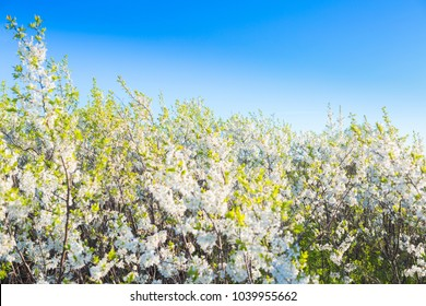 Branches of a blossoming cherry tree. White cherry tree background.