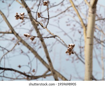 The branches of the blossoming willow are covered with snow against the background of the blue sky. Palm Sunday symbol.