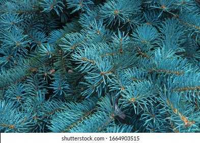 Branches of blue fir tree. Background