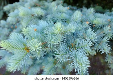 The branches of the blue spruce close-up. Blurred focus. Blue spruce or prickly spruce (Picea pungens) - representative of the genus Spruce from the Pine family.