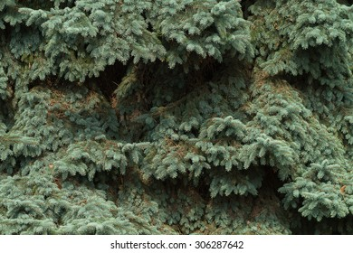 Branches of blue spruce close-up. Spruce needle. Conifer tree. Desktop Wallpaper. Nature wallpaper.