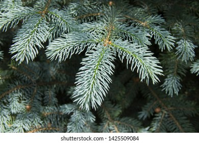 The branches of the blue spruce close-up. Blue spruce or prickly spruce (Picea pungens) - representative of the genus Spruce from the Pine family.