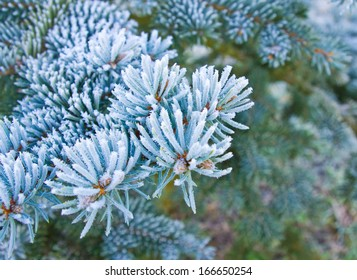 Branches of blue spruce is covered with frost